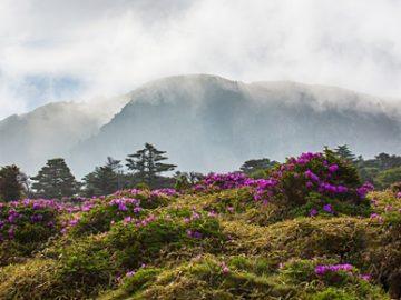 The peak of South Korea's highest mountain, Mt. Hallasan, is shrouded in morning fog as azalea flowers bloom on Jeju Island.